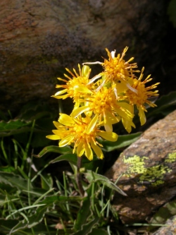 Solidago_virgaurea